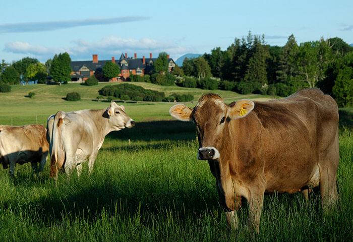 Cows at Shelburne Farms